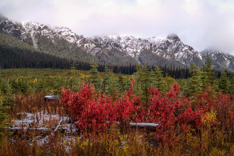 Young Planted Forest in Autumn Colors. A colorful regenerated clearcut in the mountains is displayed in this image. The snow in the mountains provides a nice royalty free stock image