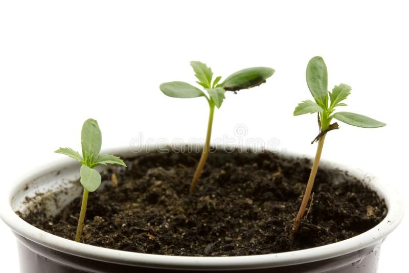 Young plants royalty free stock photos