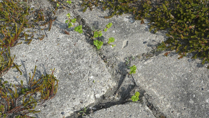 Download Young Plants Break Through Concrete Royalty Free Stock Photos - Image: 16560598
