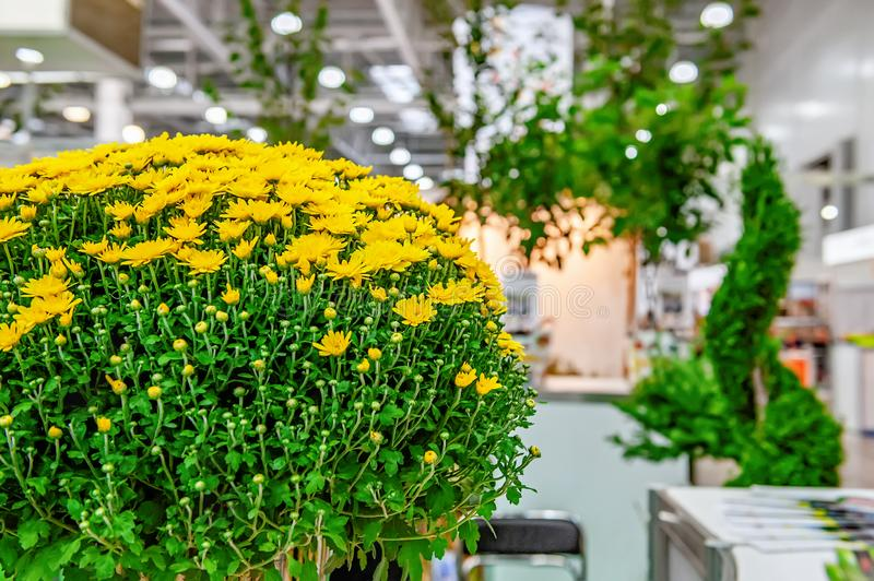 Young plants of yellow small chrysanthemums in a large bouquet. Interior decoration with flowers and plants stock photography