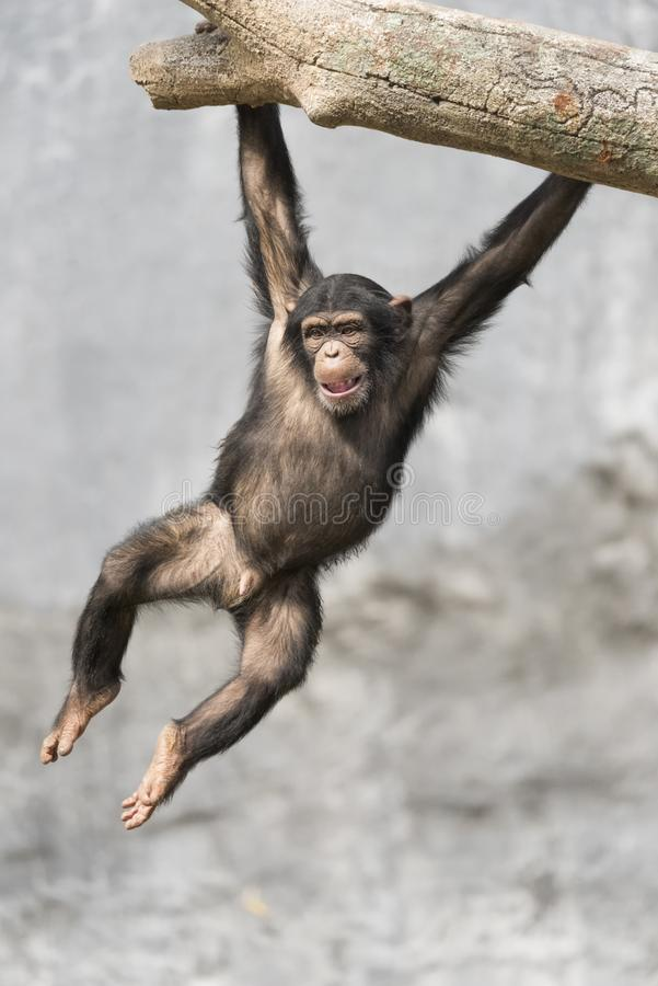 Young playful Chimpanzee hanging off a tree branch with two hands. Young Chimpanzee hanging off a tree branch with two hands stock image