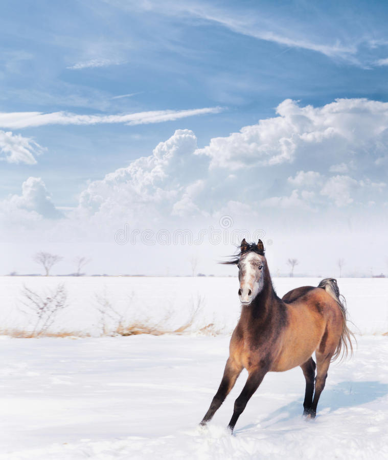 Young playful horse in winter snow over Beautiful blue sky with clouds stock images
