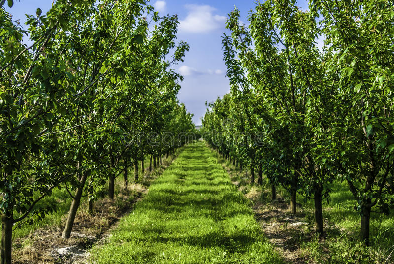 Young plum trees in a raw stock photography