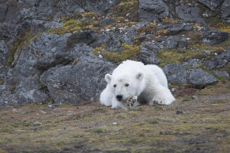 Young polar bear in the Arctic stock image