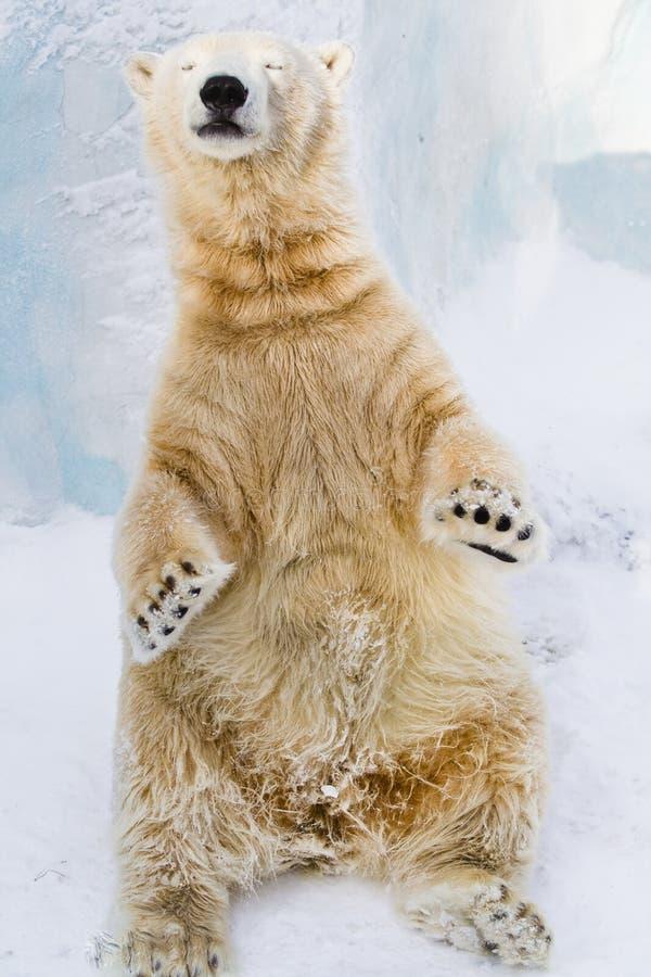 Young polar bear enjoying the sun royalty free stock image
