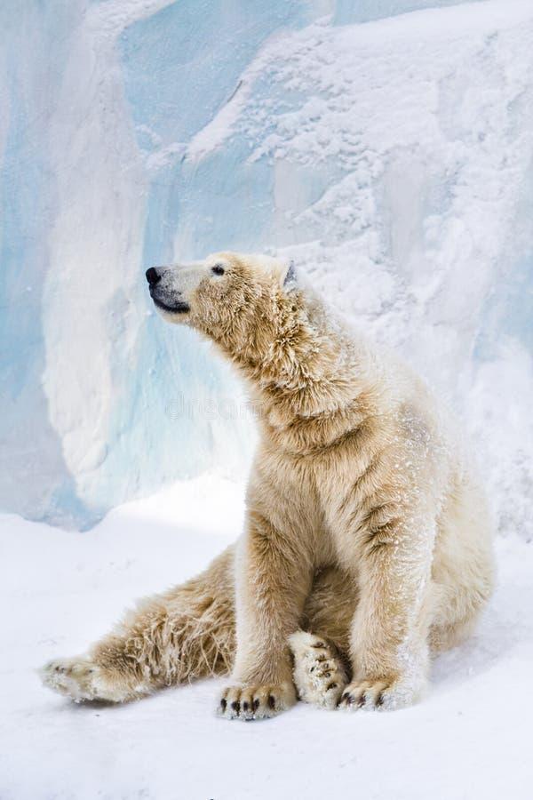 Young polar bear looking around royalty free stock photos