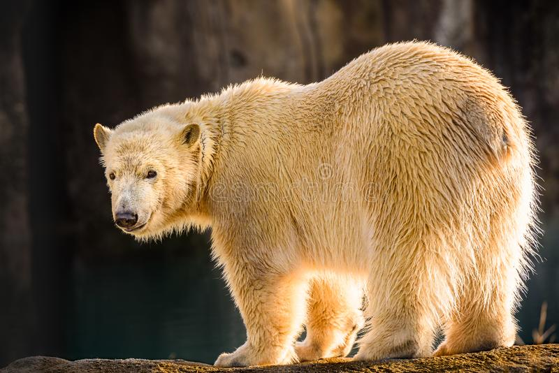 Young polar bear looks into the camera and bright backlight shines through his fur. One of the two young polar bears in the Rotterdam Zoo with bright backlight royalty free stock photo