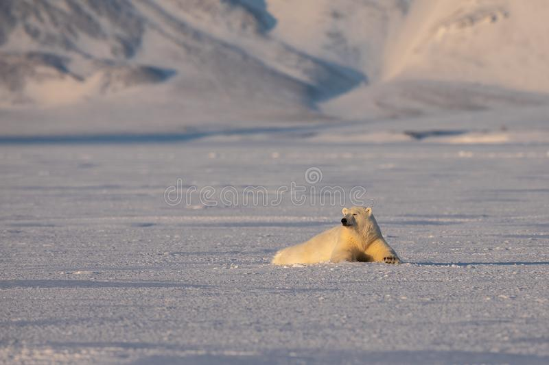 Young polar bear, Ursus maritimus, lying down on the ice, mountains in the background, arctic Svalbard. Polar bear, Ursus maritimus, two years old, lying down on royalty free stock images