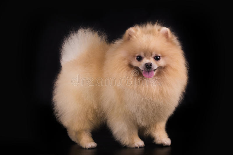 Young Pomeranian on black background isolated royalty free stock photos