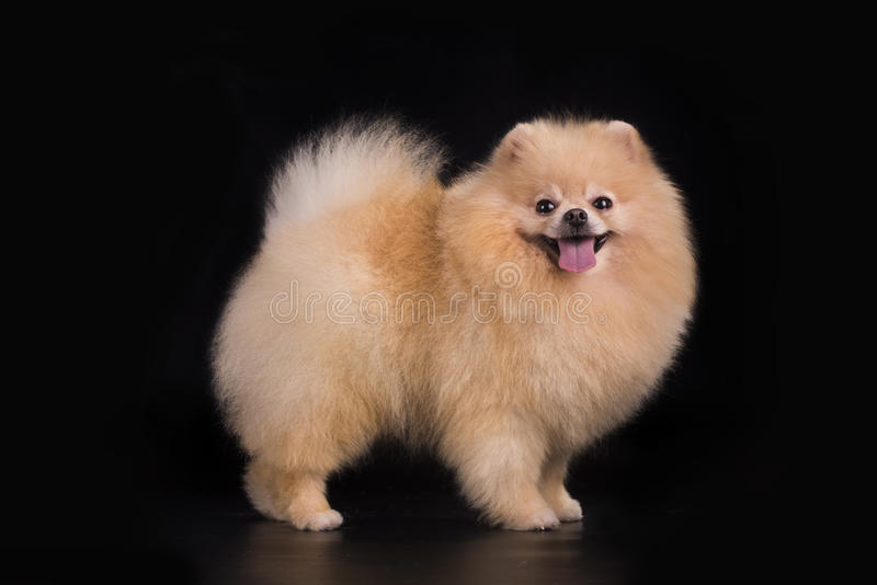 Young Pomeranian on black background isolated royalty free stock images