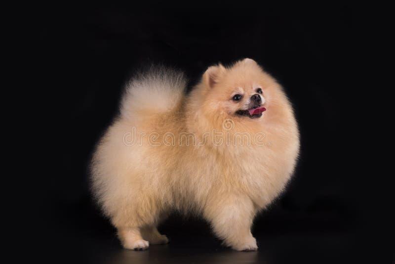Young Pomeranian on black background isolated royalty free stock image