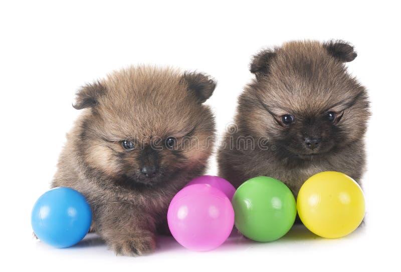 Puppies pomeranian in studio stock photos