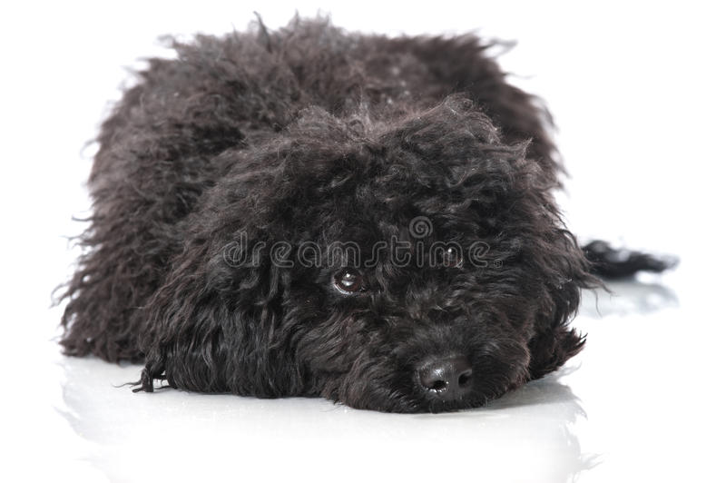 Young poodle dog. On white stock photo