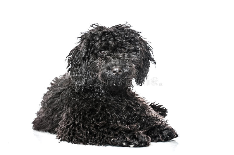 Young poodle dog. Isolated on white stock images