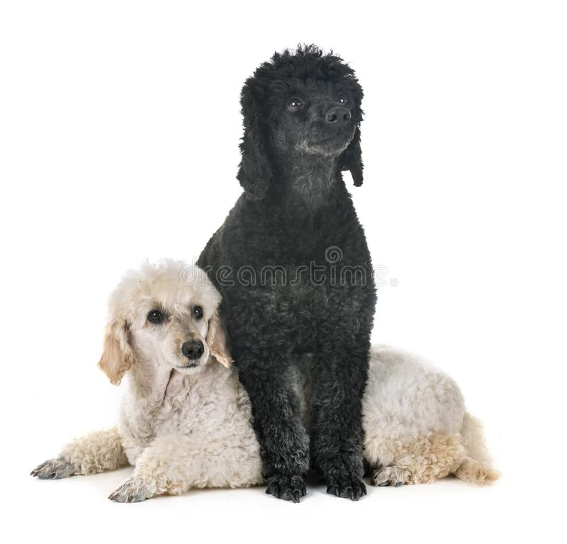 Poodle in studio. Young poodle in front of white background royalty free stock photography