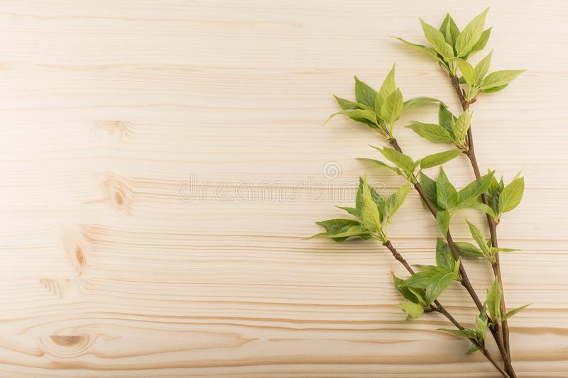 Young poplar branches with leaves royalty free stock photo