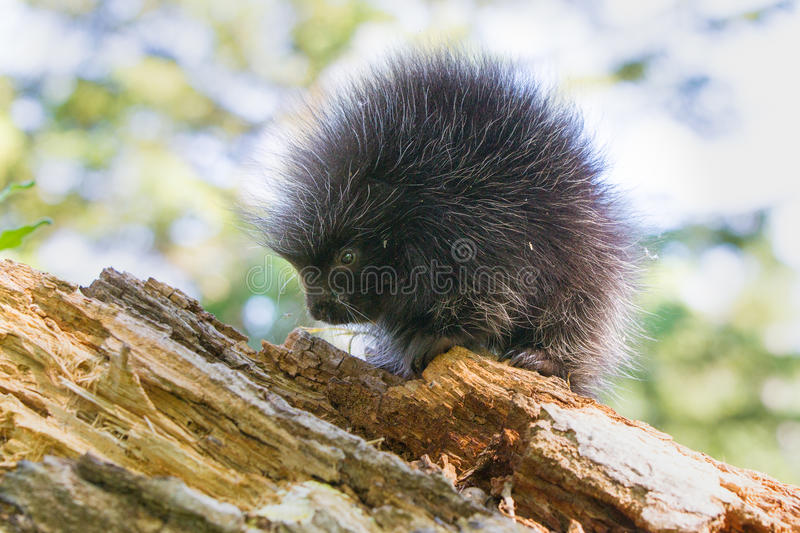 Young porcupine baby standing broadside. Young porcupine baby sitting on a log broadside stock photography