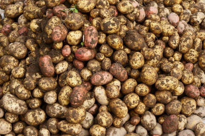Young potato stock photos