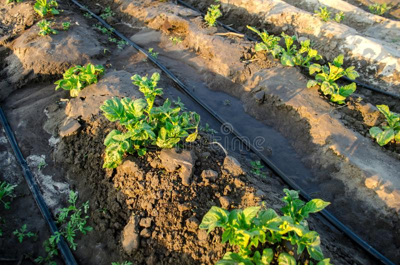 Young potato grow in the field and irrigated with drip irrigation. Growing organic vegetables. Agriculture. Farming. Farm. Selective focus royalty free stock images