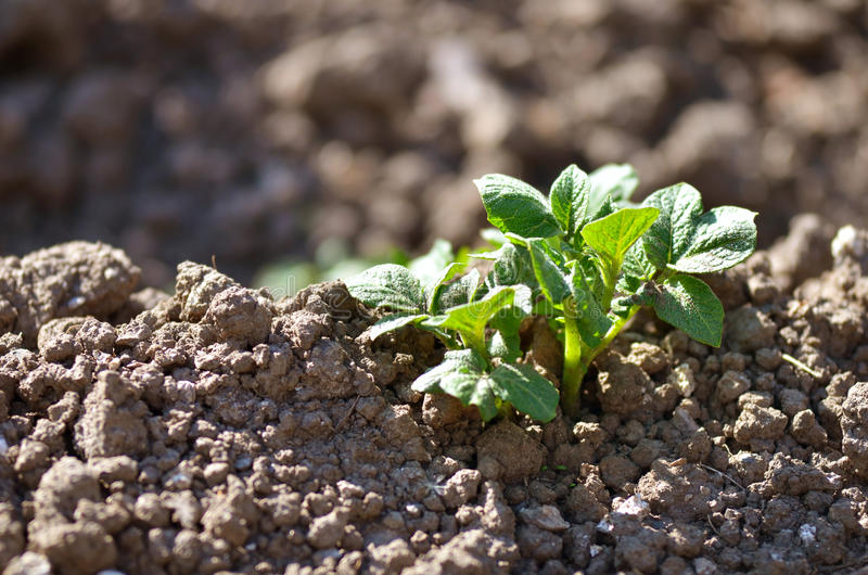 Young potato plant growing on the soil. royalty free stock image
