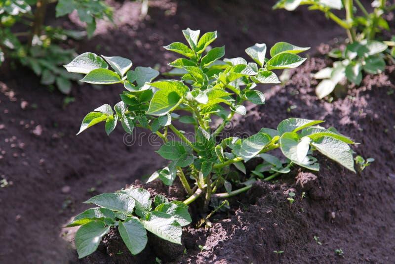 Potato bush in the garden stock image