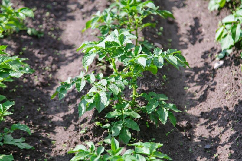 potato plant growing on the soil stock image