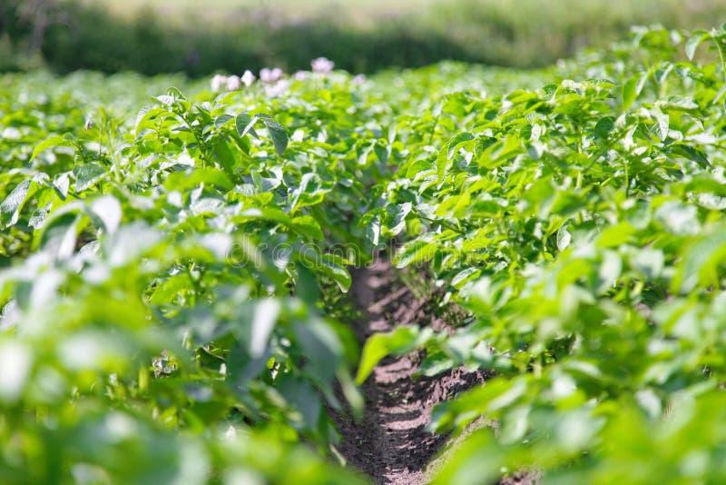 Potato plant growing on the soil royalty free stock photo