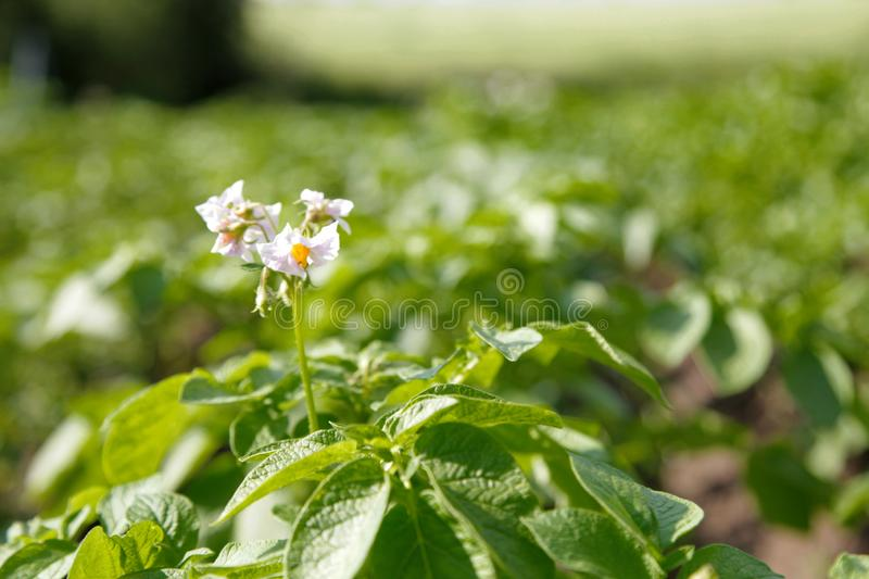 Healthy young potato plant in organic garden with white flower blooms royalty free stock photography