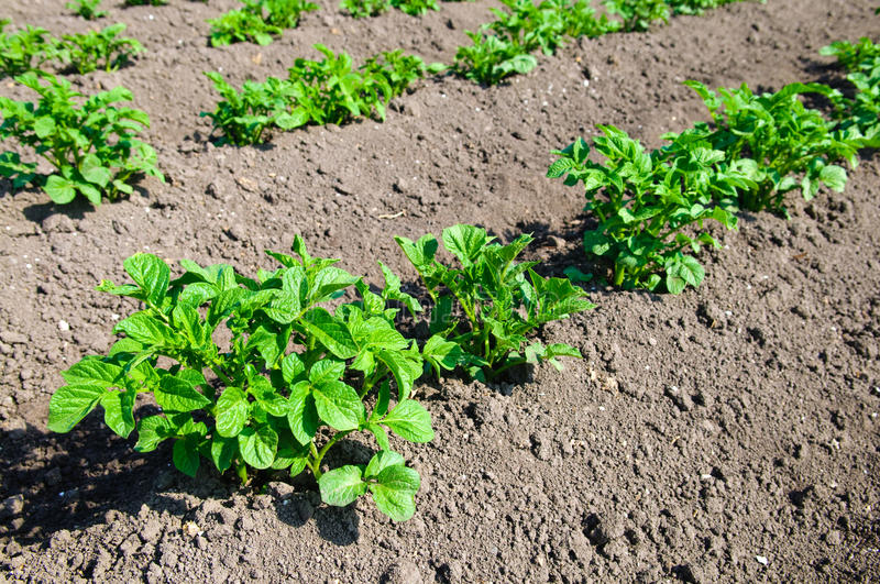 Download Young potato plants stock photo. Image of horticulture - 10020452