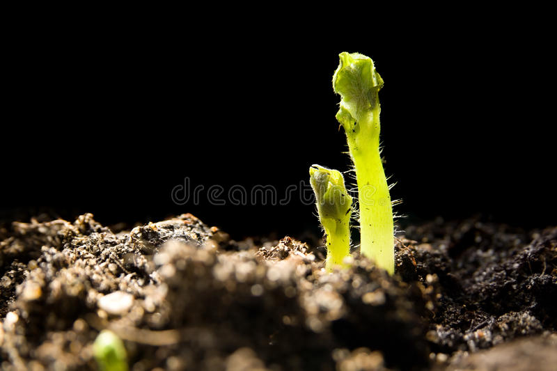 Young potato plants stock images