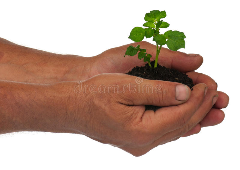 Young potato sprout royalty free stock photo
