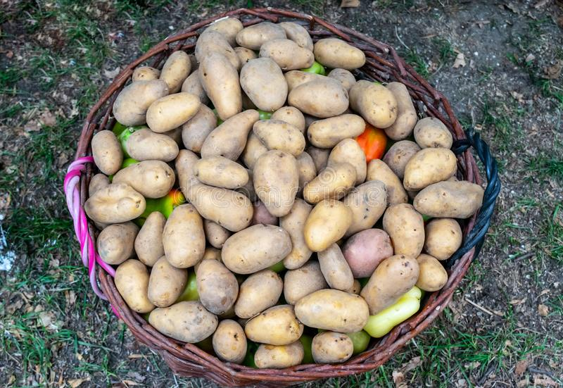 Young potatoes in a basket. Potato tubers royalty free stock images
