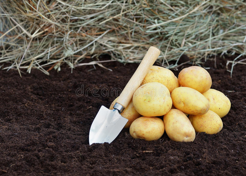 Young potatoes royalty free stock image