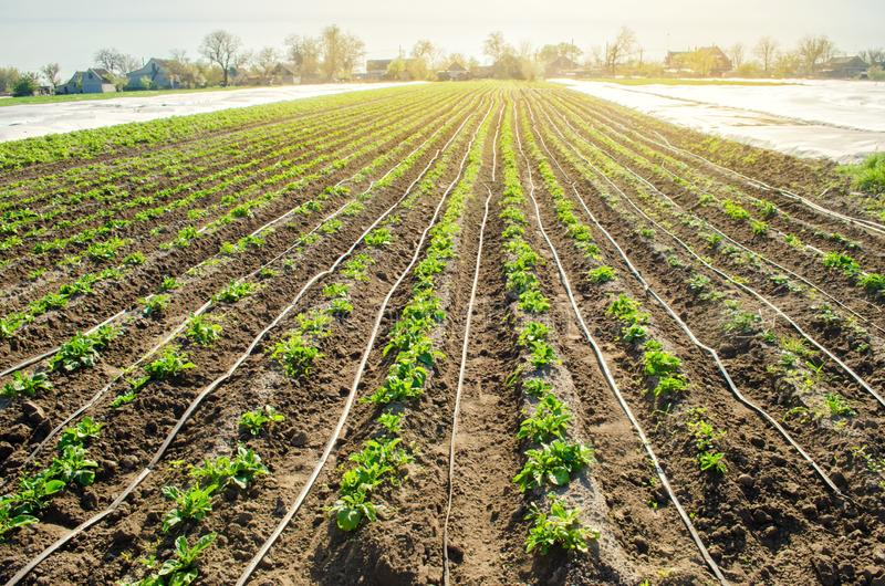 Young potatoes growing in the field are connected to drip irrigation. Agriculture landscape. Rural plantations. Farmland Farming. Selective focus stock photo