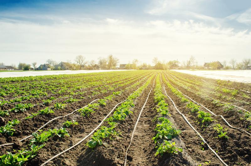 Young potatoes growing in the field are connected to drip irrigation. Agriculture landscape. Rural plantations. Farmland Farming. Selective focus stock image