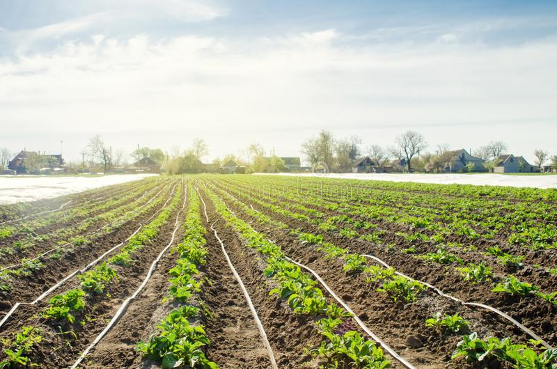 Young potatoes growing in the field are connected to drip irrigation. Agriculture landscape. Rural plantations. Farmland Farming. Selective focus royalty free stock photos