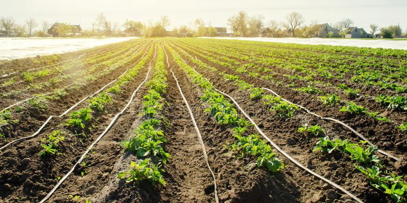 Young potatoes growing in the field are connected to drip irrigation. Agriculture landscape. Rural plantations. Farmland Farming. Selective focus stock photography