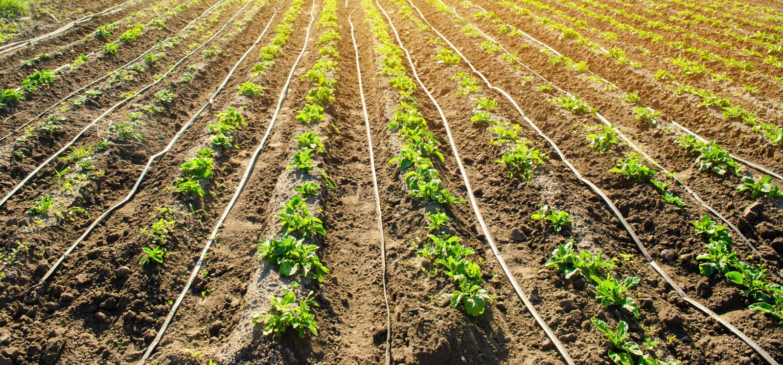 Young potatoes growing in the field are connected to drip irrigation. Agriculture landscape. Rural plantations. Farmland Farming. Selective focus royalty free stock photography