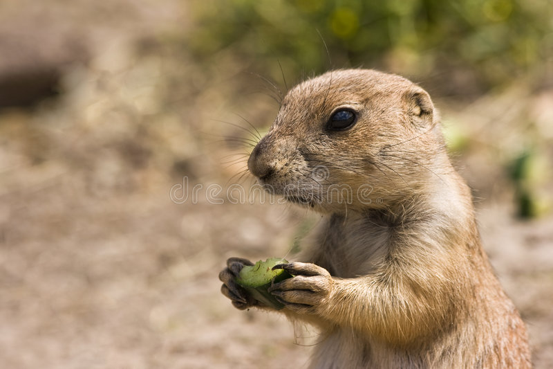 Young prairiedog. Young little prairiedog standing in the sun and eating royalty free stock photography