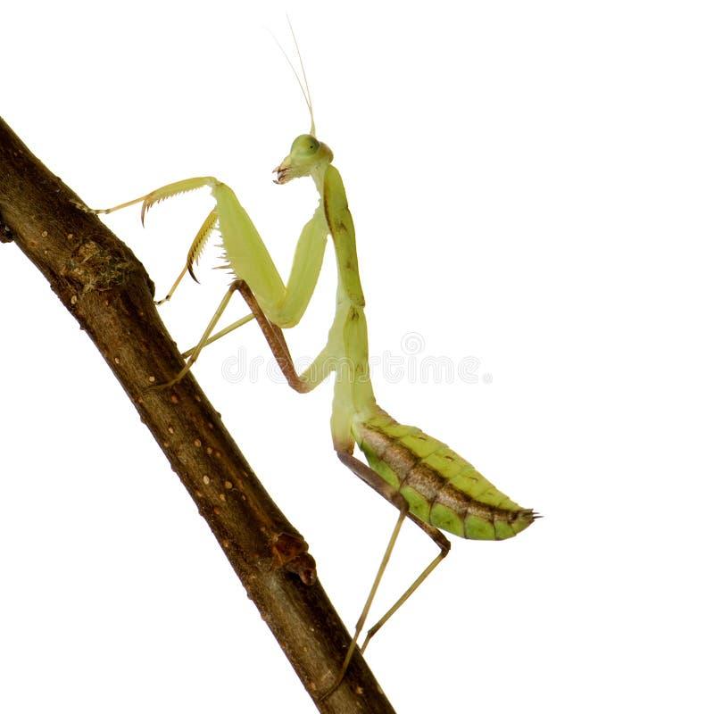 Young Praying Mantis - Sphodromantis Lineola Stock Photo