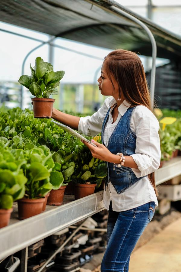 Young pretty Asian woman agronomist with tablet working in greenhouse inspecting the plants.  royalty free stock photo