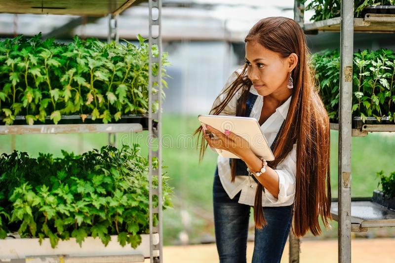 Young pretty Asian woman agronomist with tablet working in greenhouse inspecting the plants.  royalty free stock images