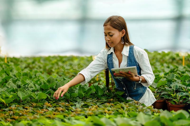Young pretty Asian woman agronomist with tablet working in greenhouse inspecting the plants stock photography