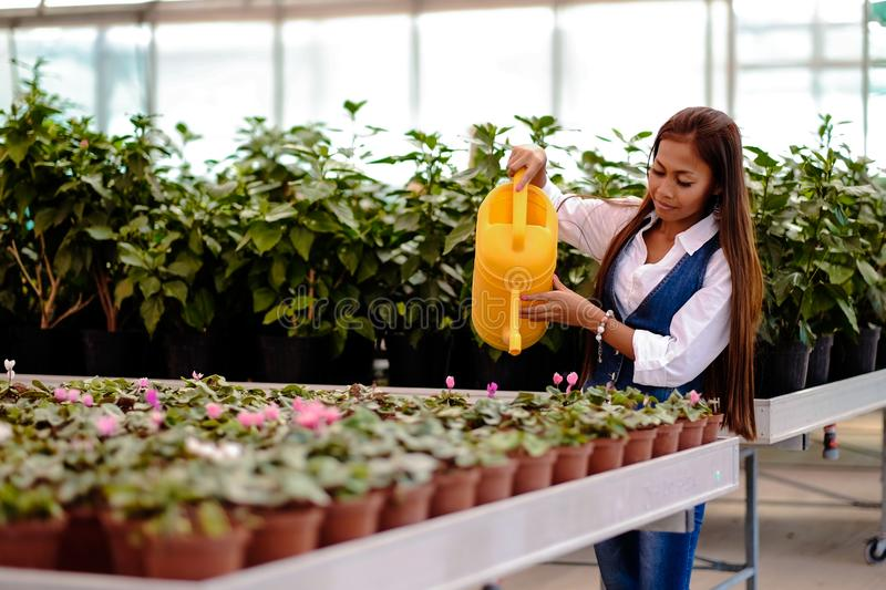 Young pretty Asian woman working in greenhouse watering the plants.  stock images