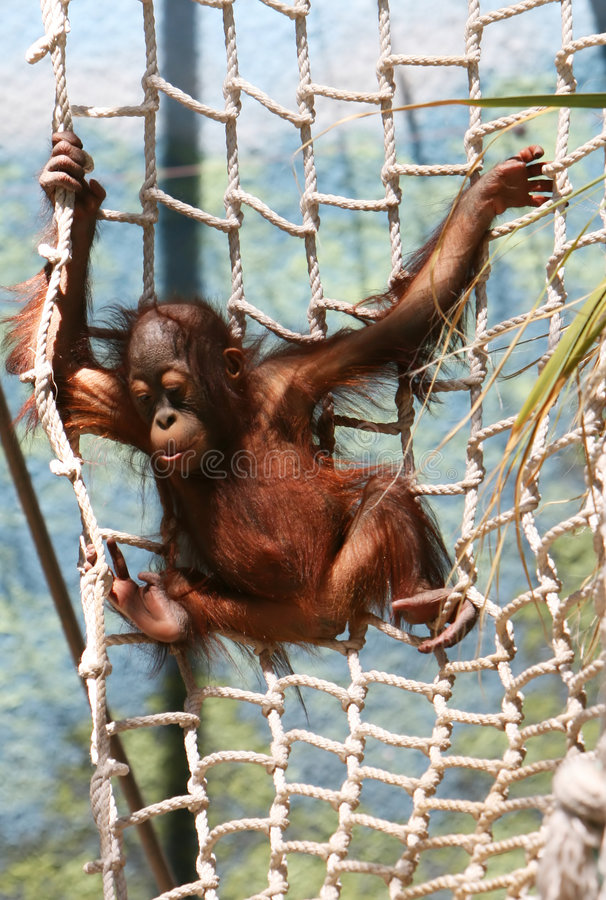 Young Primate royalty free stock photography