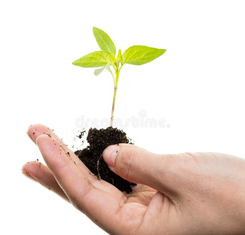 Young process of a plant on a white background royalty free stock image