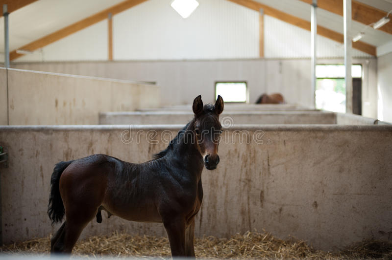 Download Young and proud stock photo. Image of warmblood, infant - 24919854