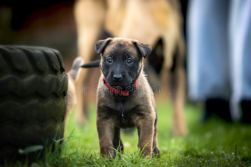 Young puppy dog stock images