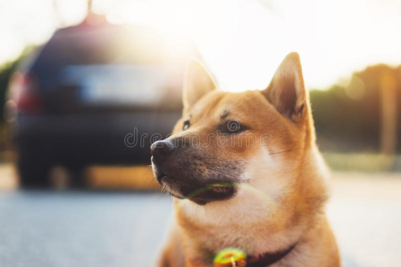 Young puppy of japanese dog breed enjoys outdoor recreation in rays of the sun, portrait shiba inu close-up smiles red dog, friend. Ship concept, pet with sad stock photos