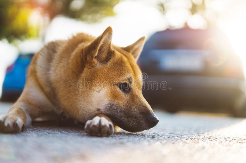 Young puppy of japanese dog breed enjoys outdoor recreation in rays of the sun, portrait shiba inu close-up smiles red dog, friend. Ship concept, pet with sad royalty free stock photos